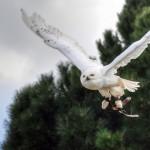 snowy-owl-3303888_640